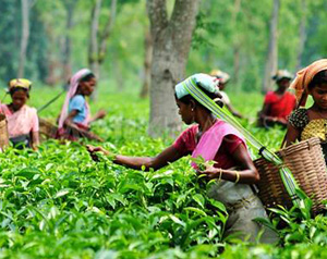tea solution software, tea garden biometric solution, biometrics in tea garden, biometric devices